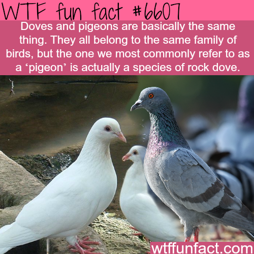 Doves and Pigeon - WTF fun facts