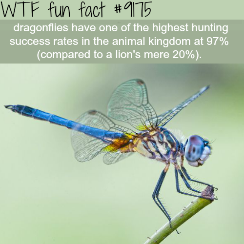 Dragonflies - WTF Fun Facts