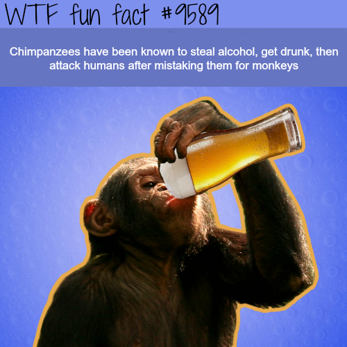 Drunk Chimpanzees - WTF fun fact