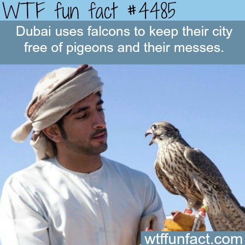 Dubai uses falcons to keep the city free of pigeons -   WTF fun facts
