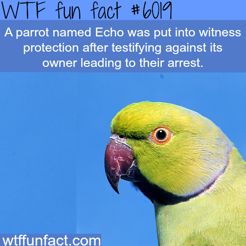 Echo the parrot - WTF fun facts