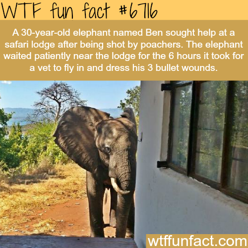 Elephant gets shot by poachers