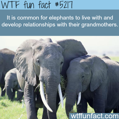 Elephants develop relationships with their grandmothers - WTF fun facts