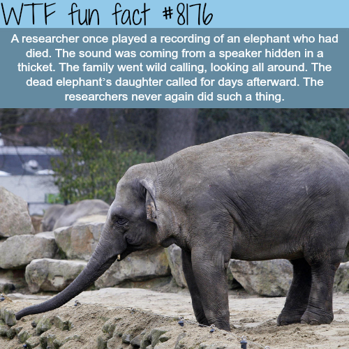 Elephants grief - WTF fun fact