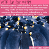emperor penguins huddle together to keep warm