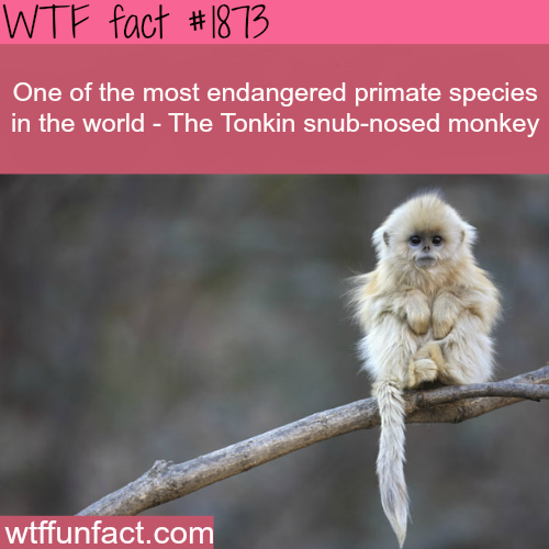 Endangerd Primate species - WTF fun facts