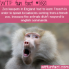 english zoo keepers had to learn french to speak