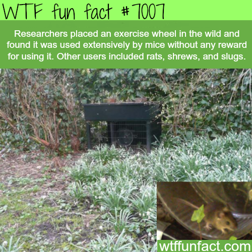 Exercise wheel in the wild - WTF fun facts