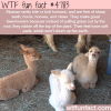 facts about alpacas wtf fun facts