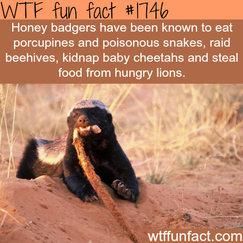 Facts about the Honey badgers -WTF fun facts
