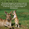facts kangaroo wtf fun fact