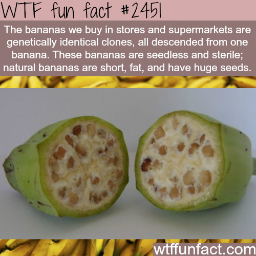 Fat Bananas - WTF fun facts