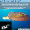 female and male blanket octopus wtf fun facts