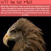 firehawks wtf fun fact