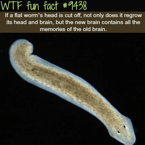 Flat worm's - WTF fun fact