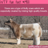 fluffy cows high quality breeds