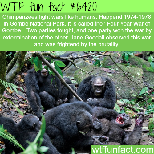 Four Year War of Gombe - WTF fun facts
