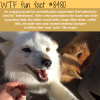 fox domestication experiment wtf fun facts