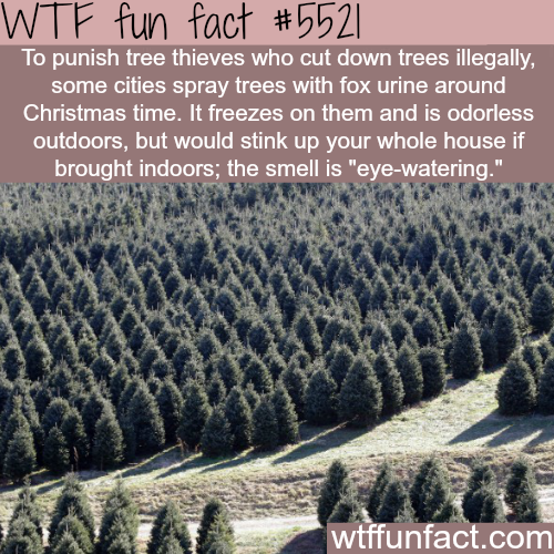 Fox urine is used to punish tree thieves - WTF fun facts