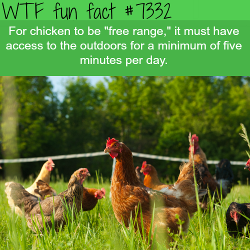 Free range chickens only have to be outside for 5 minutes - WTF fun facts