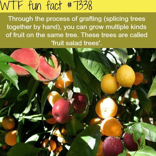 Fruit salad trees - WTF fun fact