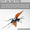 giant american wasp wtf fun facts