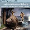giant beavers the size of black bears wtf fun