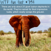 giant tusker elephants wtf fun fact