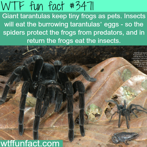 Giants tarantulas and pet frogs -  WTF fun facts