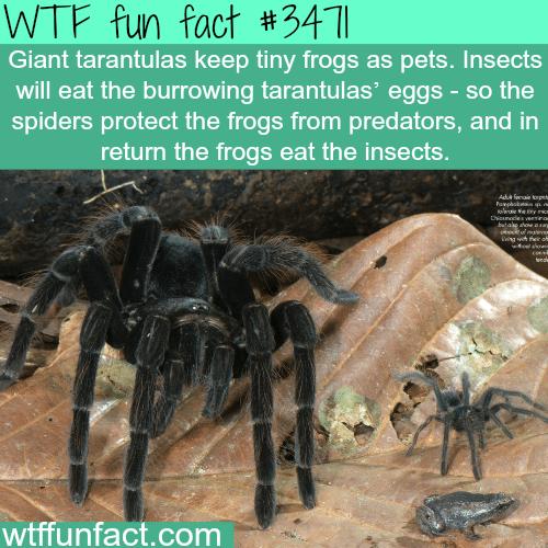 Giants tarantulas and pet frogs - WTF fun facts