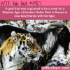 goat and tiger best friends wtf fun facts
