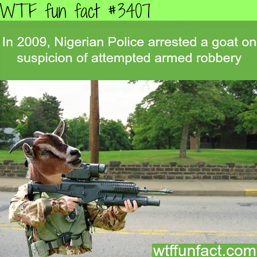 Goat armed robbery in Nigeria -  WTF fun facts