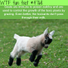 goat facts wtf fun facts
