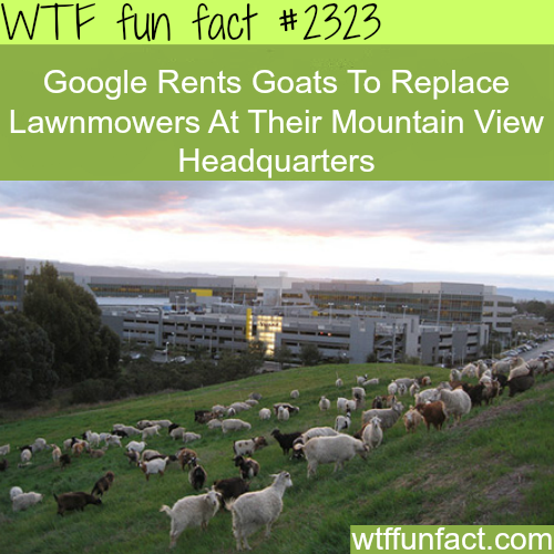 Google brings goats to cut the grass -WTF funfacts