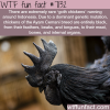 goth chickens wtf fun facts