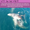 gray whales always mate in a threesome two males