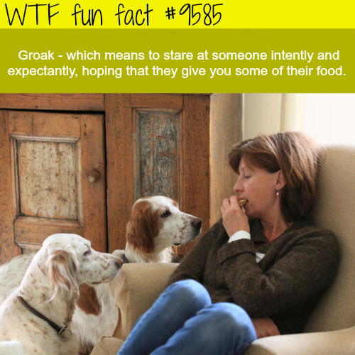 Groak - WTF fun fact