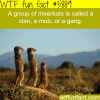 group of meerkats wtf fun facts