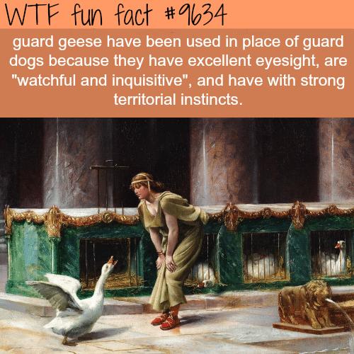 Guard geese - WTF fun fact