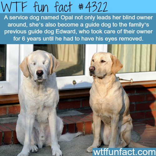 Guide dog guides a guide dog -  WTF fun facts