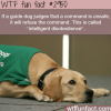 guide dogs why are they the smartest wtf fun