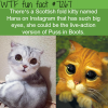 hana the scottish fold kitty wtf fun fact