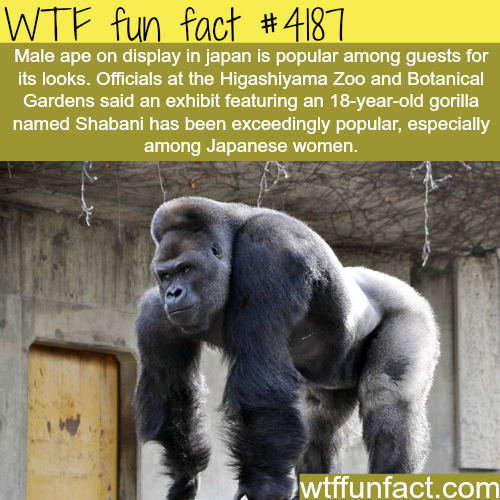 Handsome gorilla is popular in Japanese zoo -  WTF fun facts