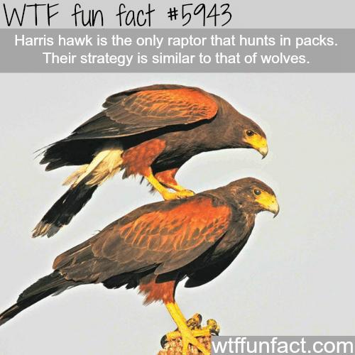 Harris Hawk - WTF fun facts