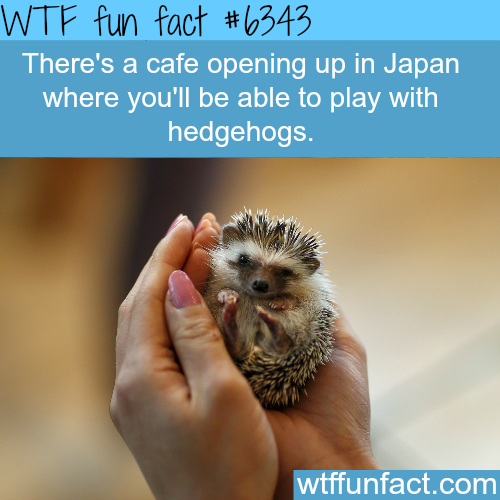 Hedgehog cafe in Japan - WTF fun facts