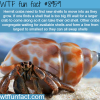 hermit crabs wtf fun facts
