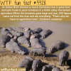 hippos in zambia wtf fun facts