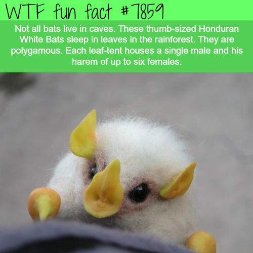 Honduran White Bat - WTF fun facts
