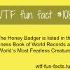 honey badger most fearless animal