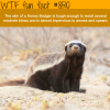 honey badger wtf fun facts